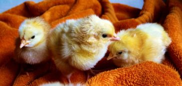 Bunnies, Chicks, and Roosters, Oh My!